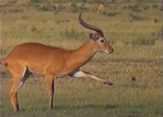 Two sexy antelopes have awesome sex